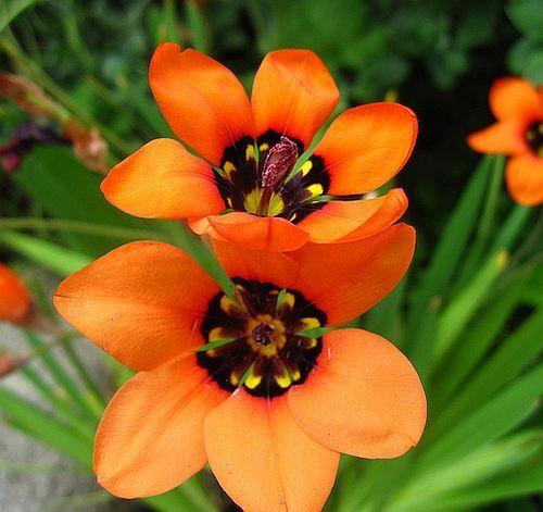 Sparaxis elegans Harlequin Flower semi