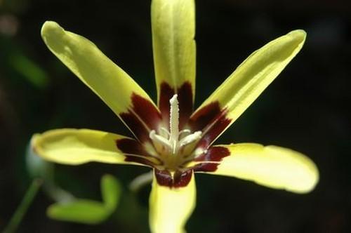Sparaxis maculosa  semi