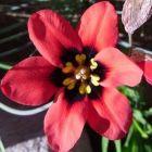 Sparaxis pillansii Harlekin Blumen Samen