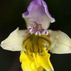 Sparaxis villosa syn:?Synnotia villosa Samen