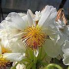 Sparmannia africana Zimmerlinde Samen
