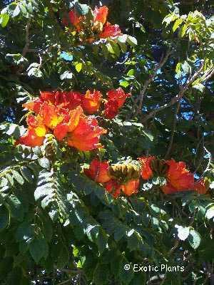 Spathodea campanulata Габонское тюльпанное дерево   Семена