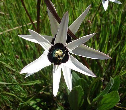 Spiloxene capensis white Spiloxene semillas
