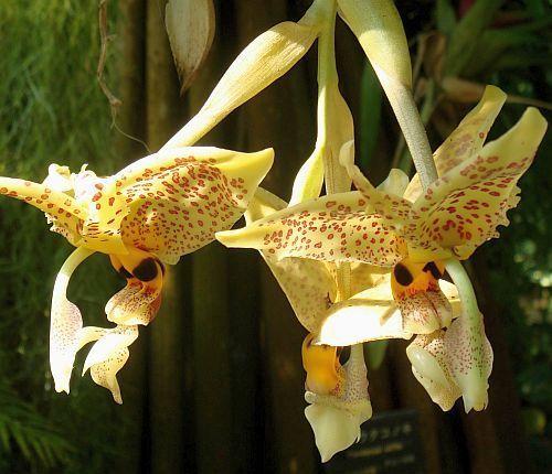 Stanhopea graveolens Orchideen Samen