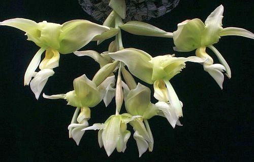 Stanhopea inodora green orquídea semillas