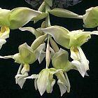 Stanhopea inodora green Orchideen Samen