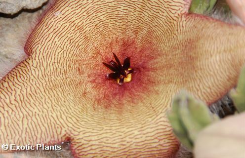 Stapelia gigantea Estapelia o Flor de lagarto semillas