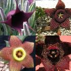 Stapelia mix  semillas