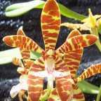 Staurochilus fasciatus Orchideen Samen