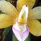 Stereochilus erinaceus Orchideen Samen