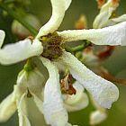 Stomatostemma monteiroae Caudexpflanze Samen