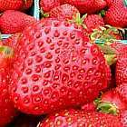 Strawberry Red Erdbeeren Samen