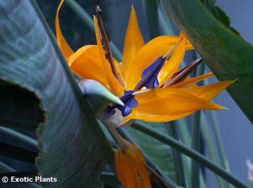 Strelitzia reginae Стрелиция королевская Семена