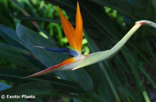 Strelitzia reginae MandelasGold Paradiesvogelblume Samen
