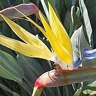Strelitzia reginae MandelasGold yellow crane flower seeds