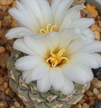 Strombocactus jarmilae Kaktus Samen
