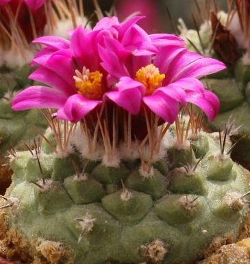 Strombocactus pulcherrimus cactus graines