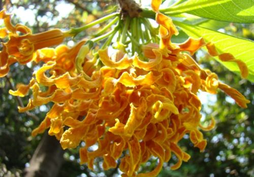Strophanthus boivinii  semillas