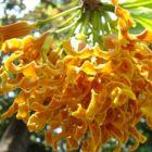 Strophanthus boivinii fleur copeaux de bois graines