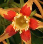 Strophanthus gerrardii Korkenzieherblume Samen