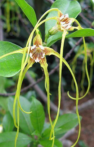 Strophanthus luteolus estrofanto semillas