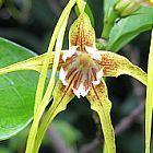 Strophanthus luteolus Korkenzieherblume Samen
