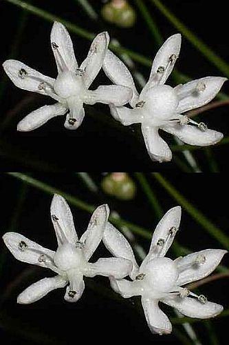 Strumaria tenella Amaryllidaceae semillas