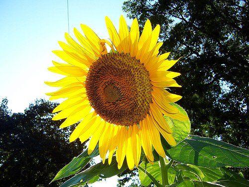 Sunflower Skyscraper Sonnenblume Wolkenkratzer Samen