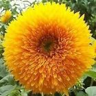Sunflower Teddy Bear Sonnenblume Teddy B?r Samen