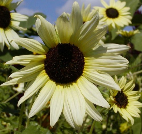 Sunflower Vanilla Ice Sonnenblume Vanille-Eis Samen