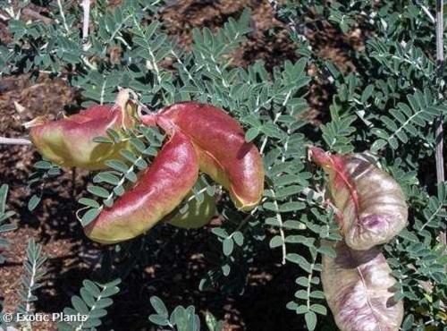 Sutherlandia frutescens arbusto del cáncer semillas