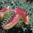 Sutherlandia frutescens Сутерландия кустарниковая  cемян