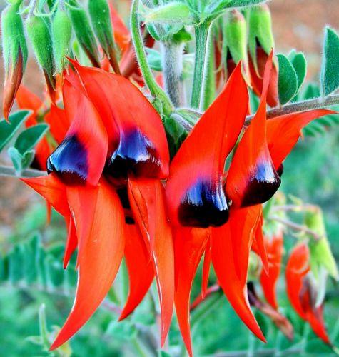 Swainsona formosa Wüstenerbse - Ruhmesblume Samen