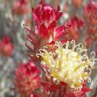 Syncarpha dregeana Strohblume Samen