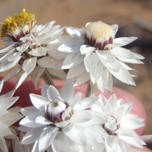 Syncarpha paniculata Strohblume Samen