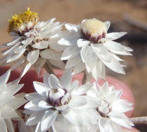 Syncarpha staehelina Strohblume Samen