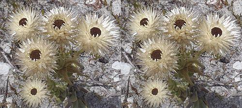 Syncarpha variegata  Семена