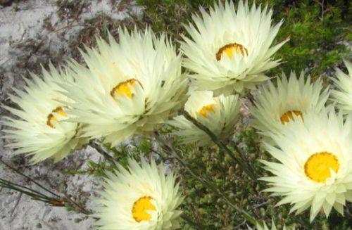 Syncarpha virgata Strohblume Samen