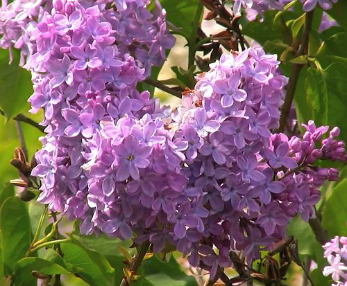 Syringa vulgaris  semillas