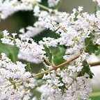 Tetradenia riparia Ingwer Busch  Samen