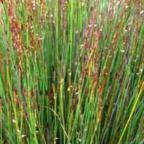 Thamnochortus fraternus junco semillas