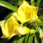 Thevetia neriifolia gelber Oleander Samen