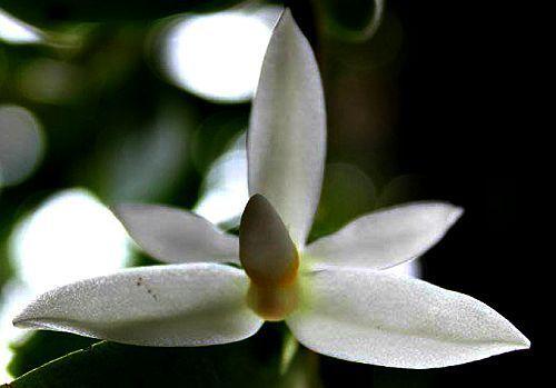 Thrixspermum calceolus Orchideen Samen