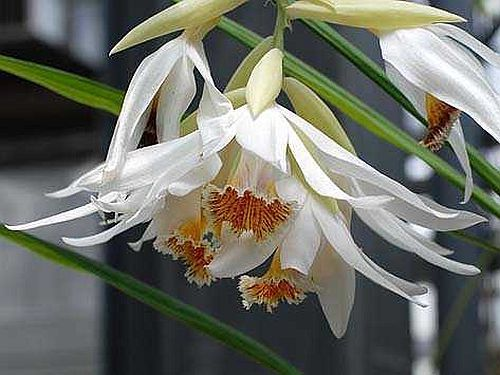 Thunia alba orchidées graines