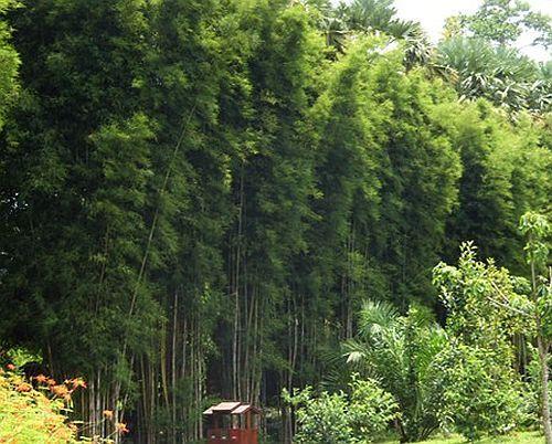 Thyrsostachys oliveri mittelgrosser Bambus Samen