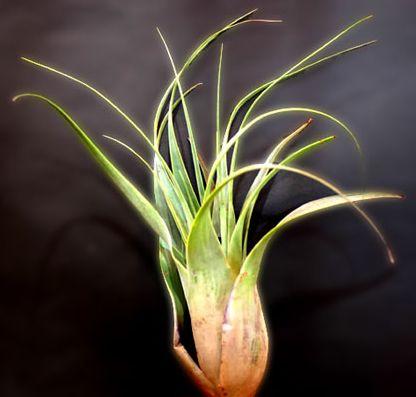Tillandsia makoyana  semillas