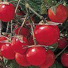 Tomate Gartenperle Pomodoro Gartenperle semi