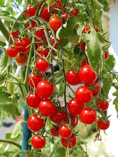 Tomate Italian Red Cherry Tomate italienische rote Kirschtomate - Tomaten Samen Samen