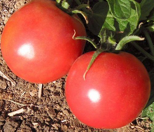 Tomate Market Wonder Tomate Samen