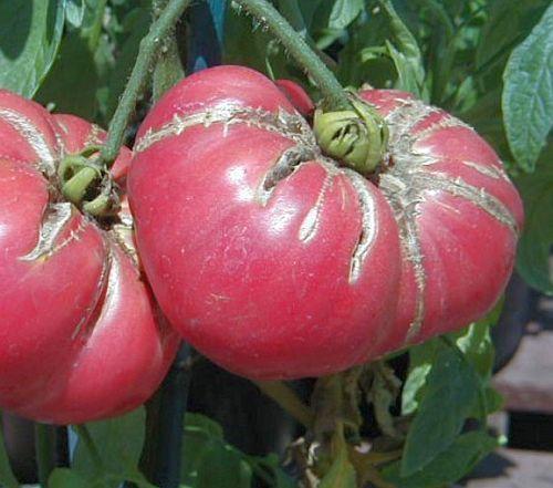 Tomate Omars Lebanese Fleischtomate Samen